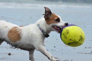 Dog Beach Ball Sand Sea Fun  - mlv1063 / Pixabay